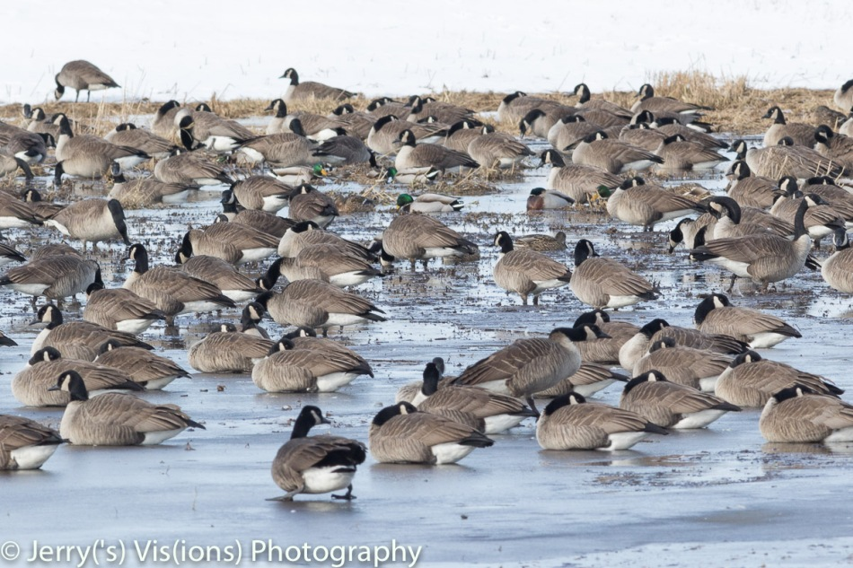 Canada geese resting