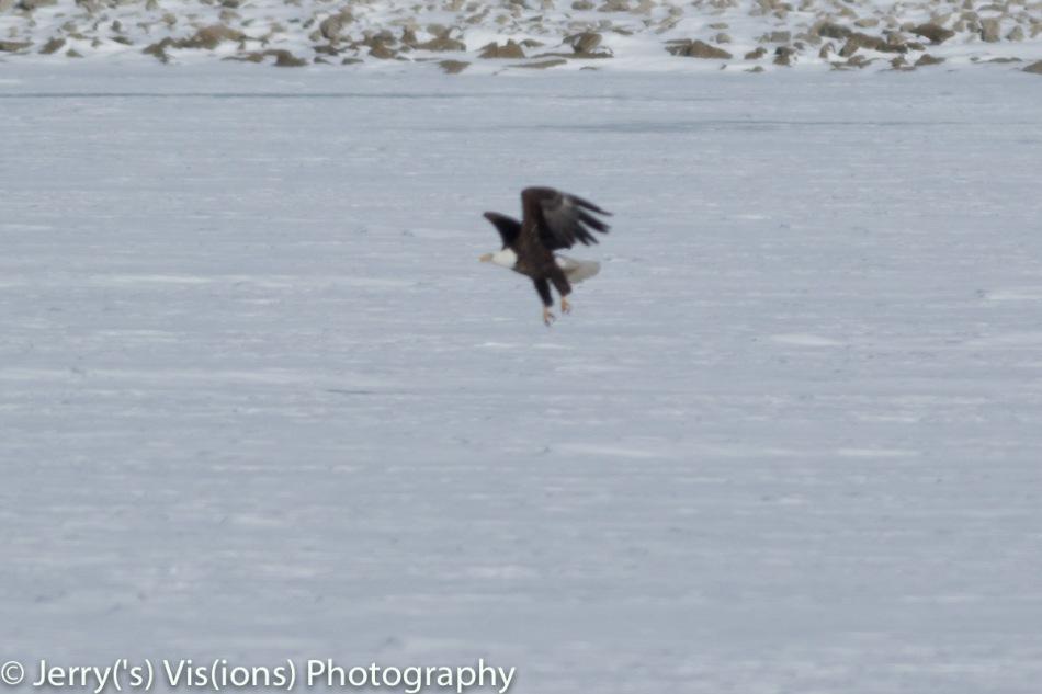 Bald eagle at a distance