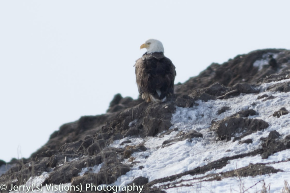 Bald eagle surveying the landfill