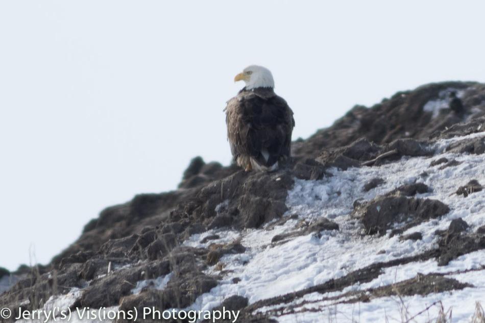 Bald eagle surveying the landfill