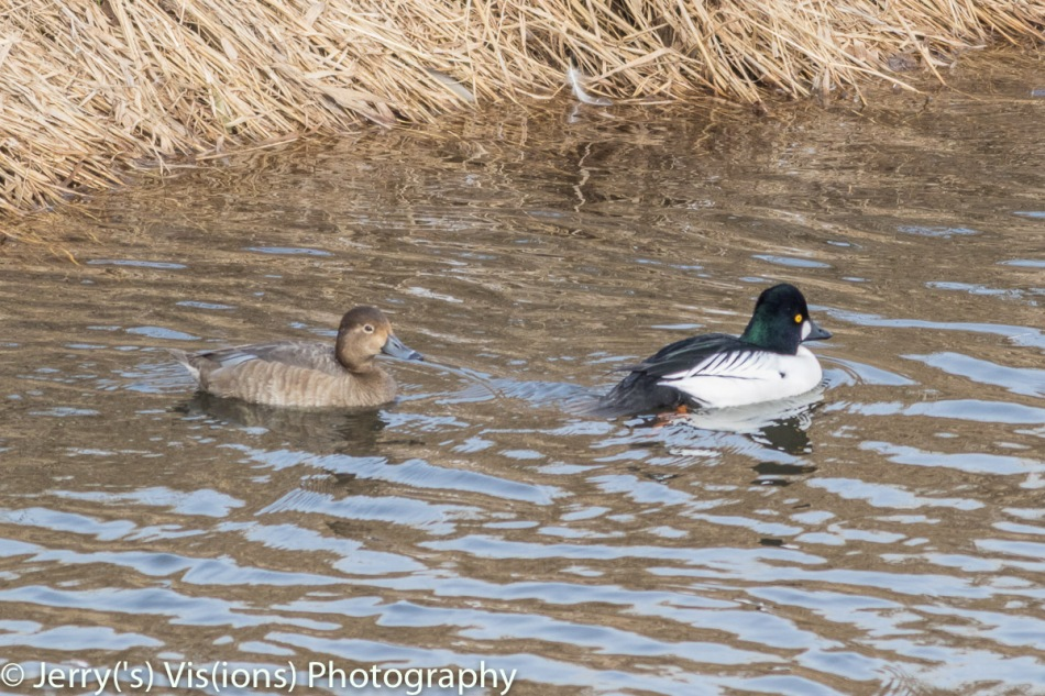 Male common goldeneye and female ring-necked duck