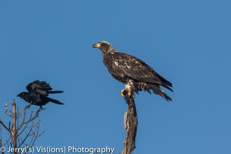 American crow landing near a juvenile bald eagle