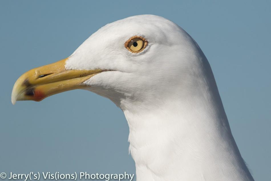 Herring gull at 560 mm