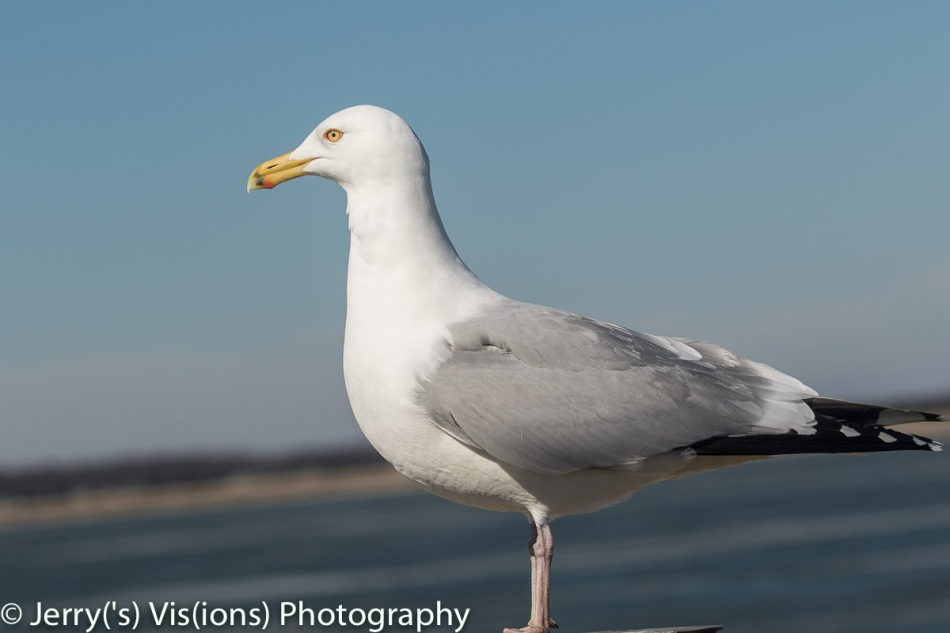Herring gull at 140mm