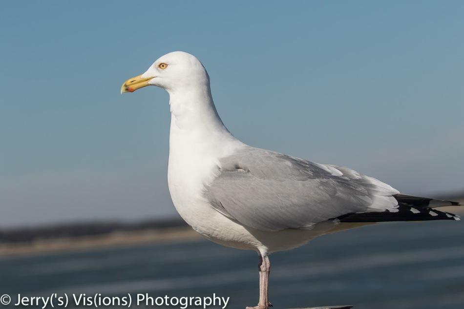 Herring gull at 140mm