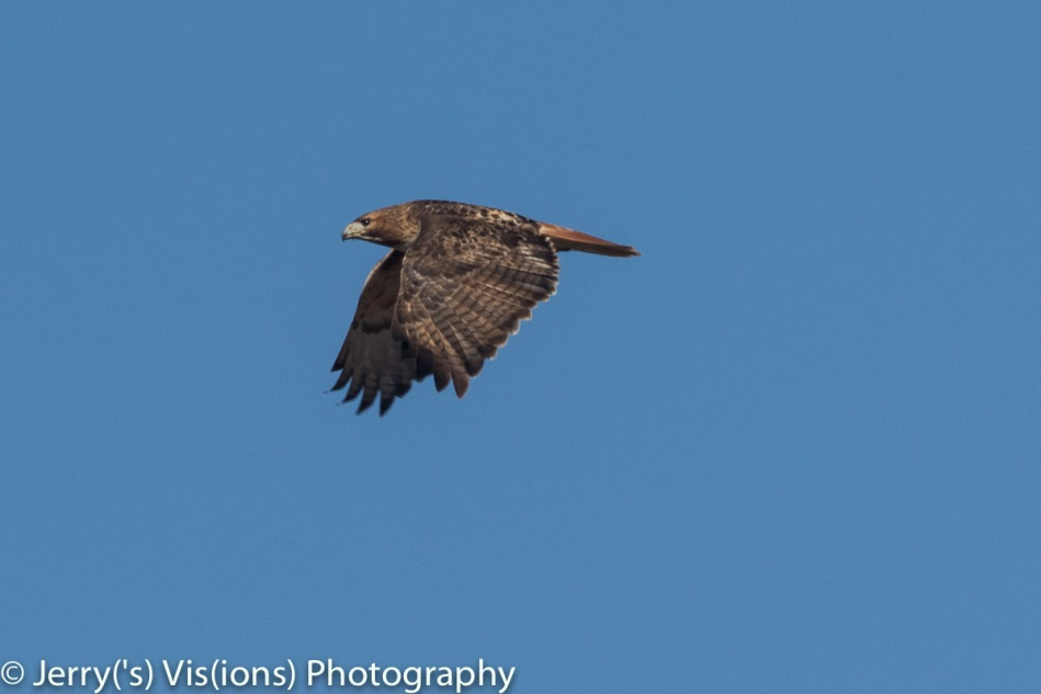 Red-tailed hawk number 1 in flight