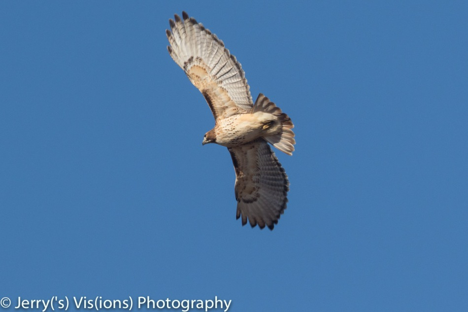 Red-tailed hawk number 2 in flight