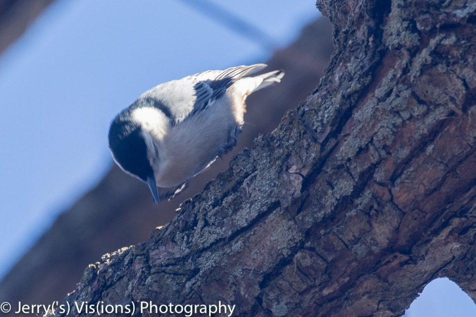 White-breasted nuthatch hopping