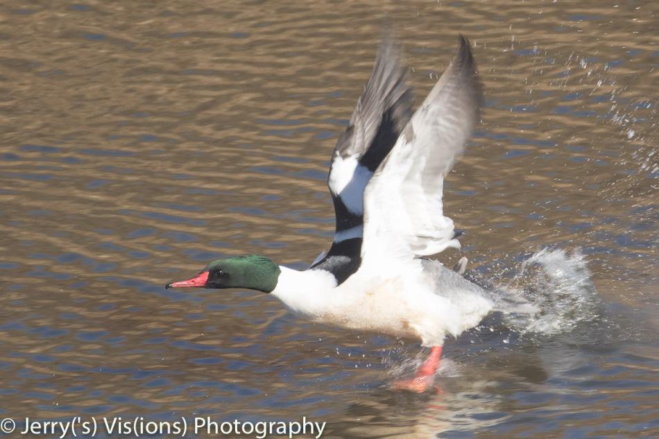 Common merganser taking off