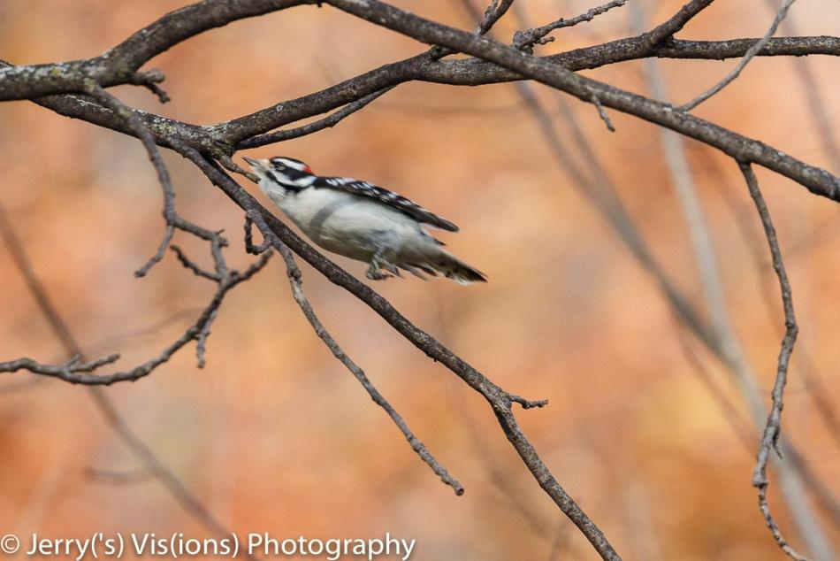 Downy woodpecker in flight