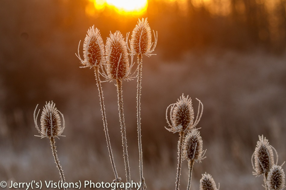 Sunrise on teasel