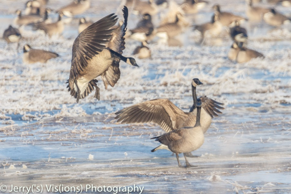 Canada geese landing on a very frosty morning