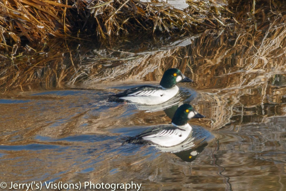 Male common goldeneyes