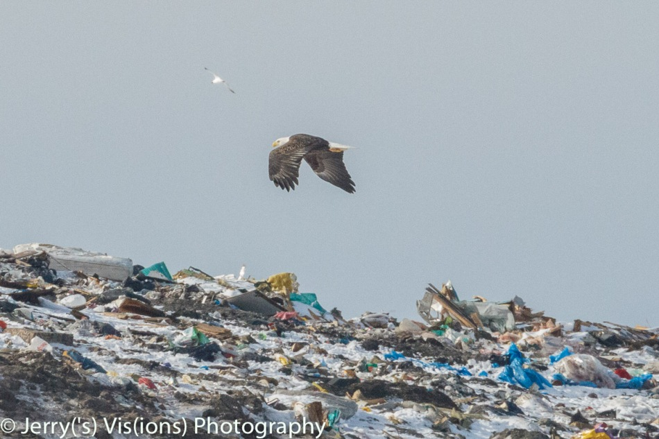 Bald eagle in flight over the landfill