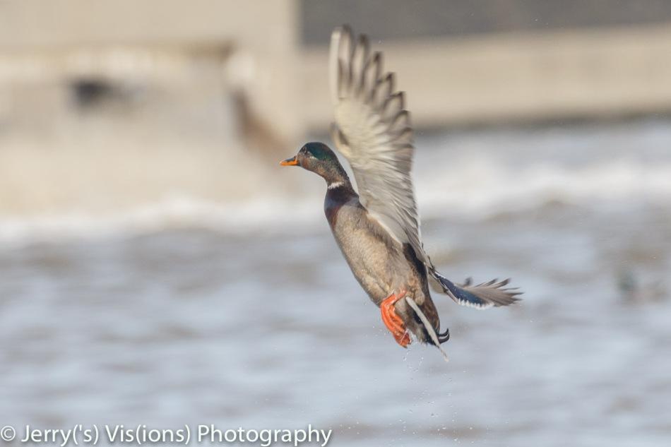 Male mallard in flight