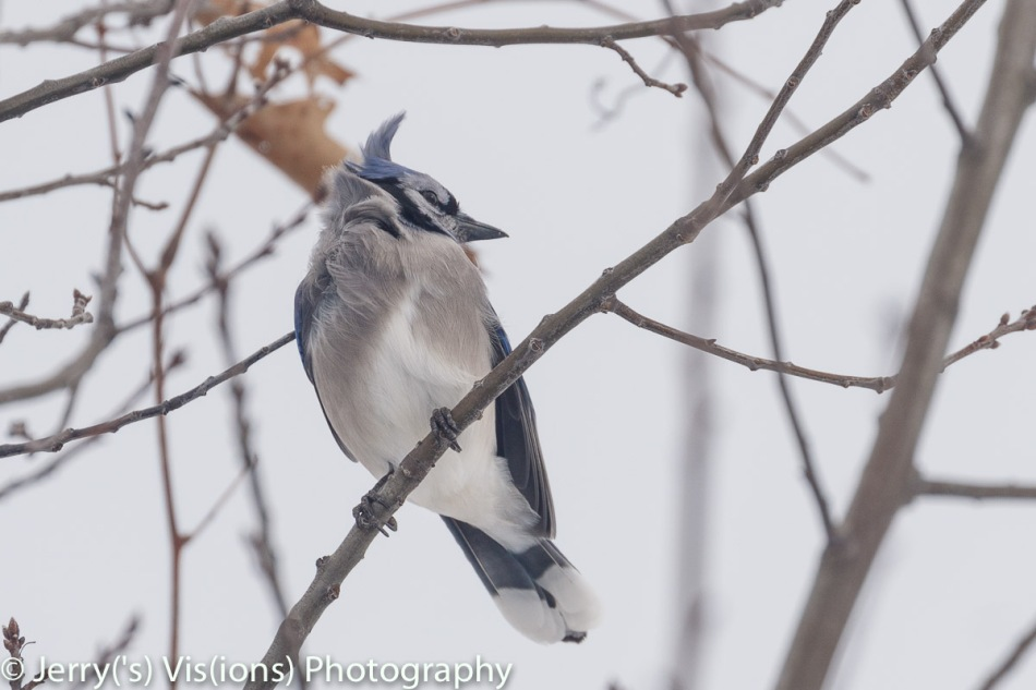 Blue jay in the wind