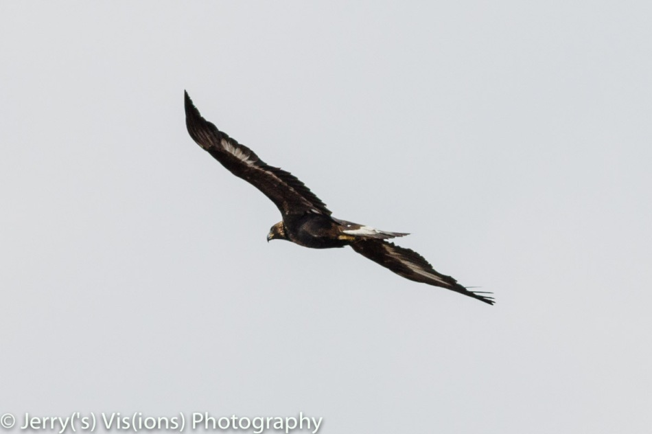 Juvenile golden eagle in flight