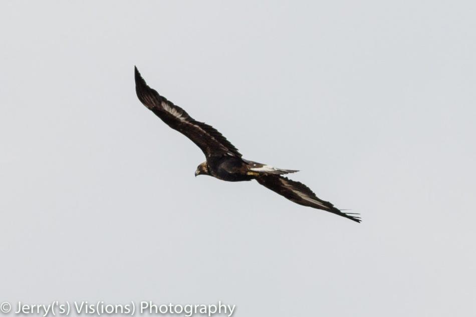 Juvenile golden eagle in flight