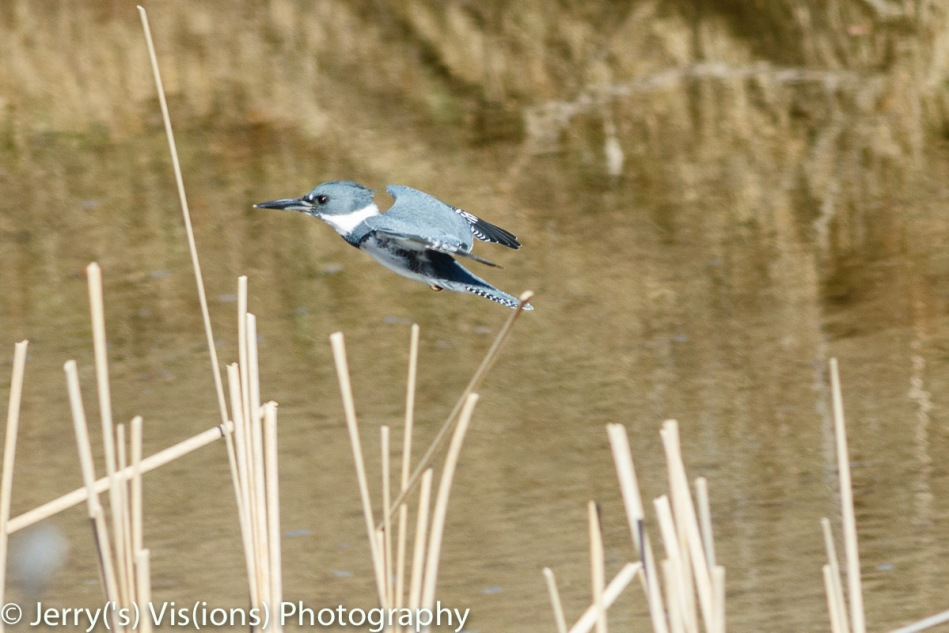 Male belted kingfisher in flight