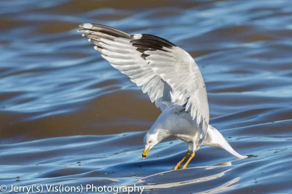 Ring-billed gull finding lunch