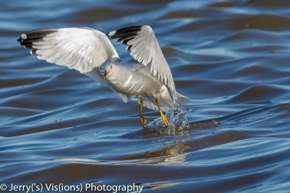 Ring-billed gull finding lunch