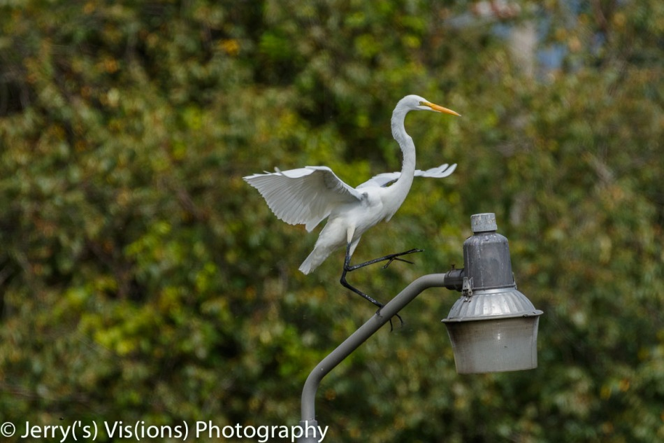 Great egret sticking the landing