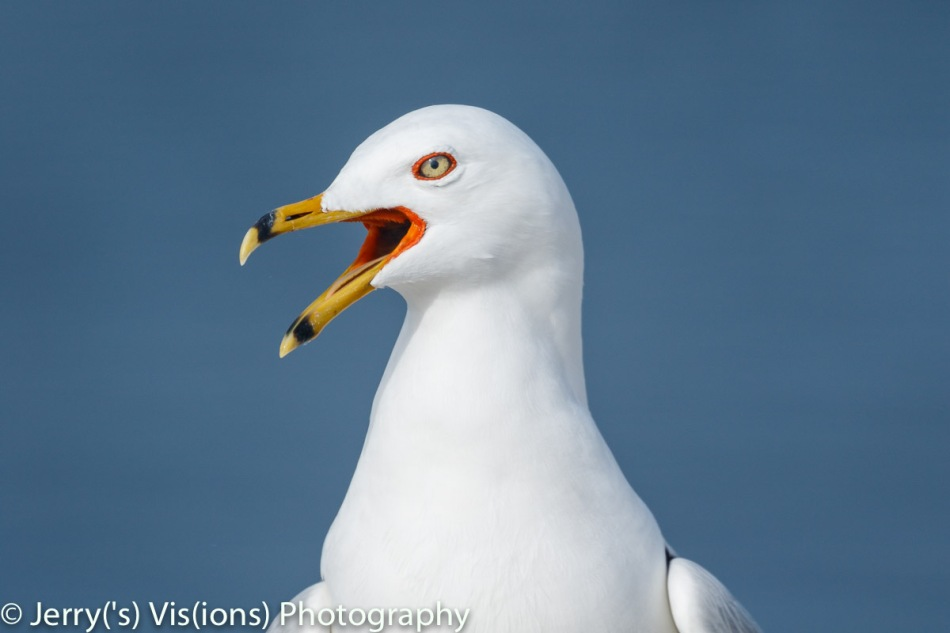 Ring-billed gull in breeding plumage