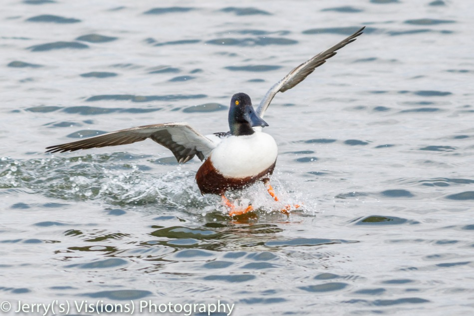 Male northern shoveler landing
