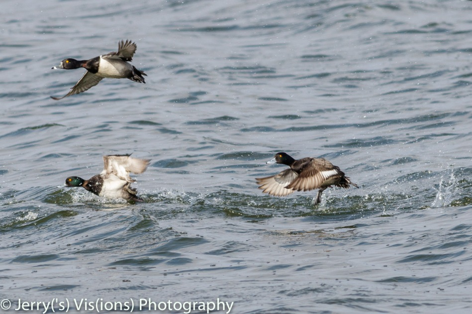 Male Ring-necked duck and lesser scaup taking flight